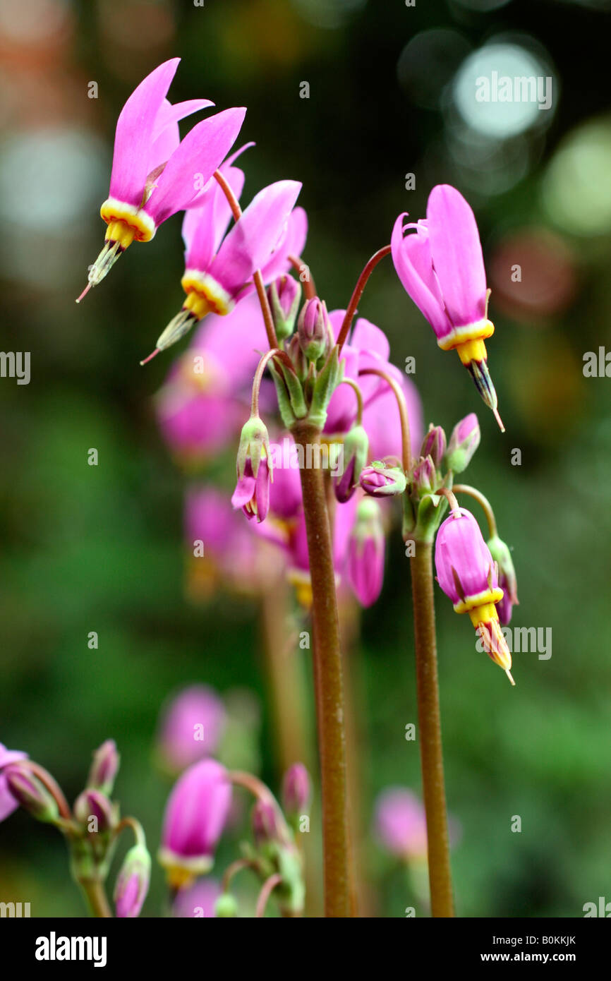 DODECATHEON MEADIA AGM - Stock Image
