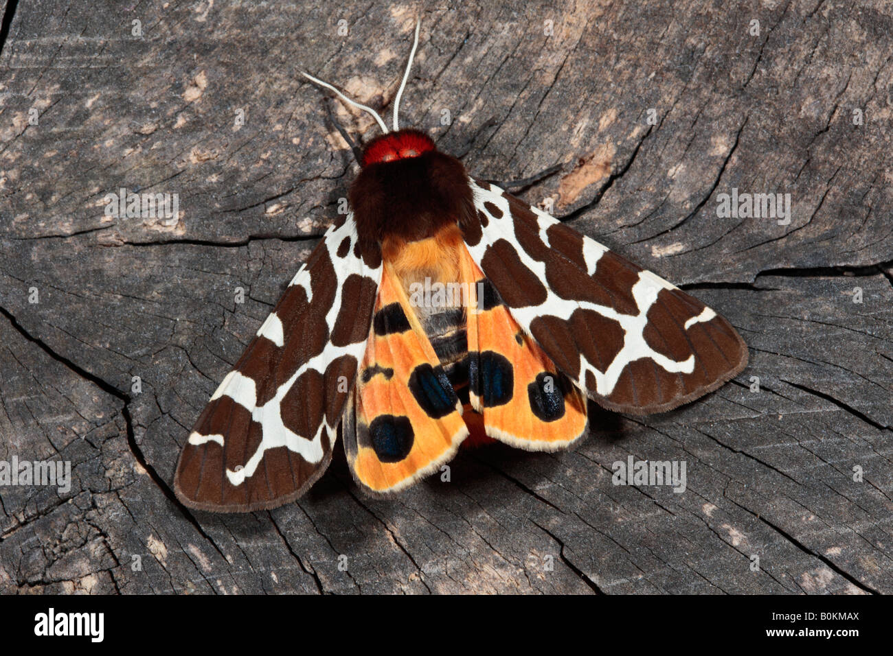 Garden Tiger Arctia caja showing hindwings Potton Bedfordshire - Stock Image