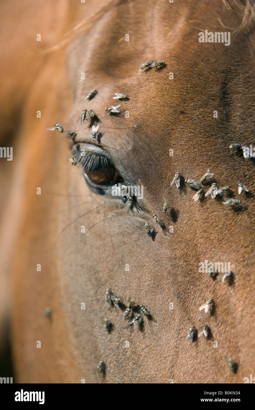 Flies on a horse s face Oxfordshire England United Kingdom - Stock Image