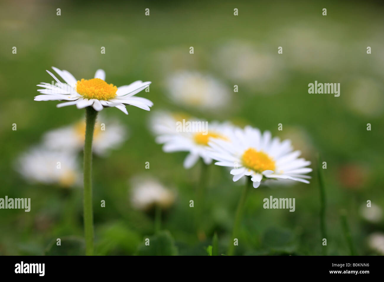 Common 'Lawn Daisies' 'Bellis perennis' - Stock Image