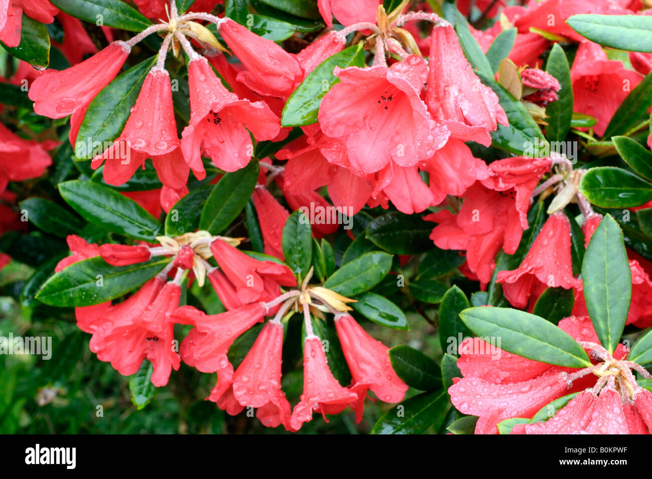 RHODODENDRON MAY DAY Stock Photo