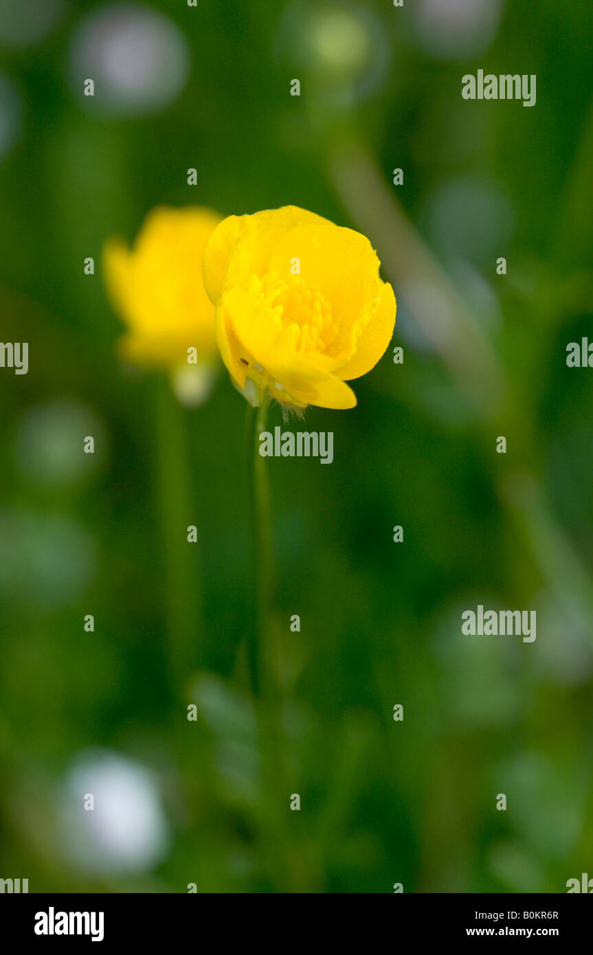 Buttercup opening in early morning Stock Photo