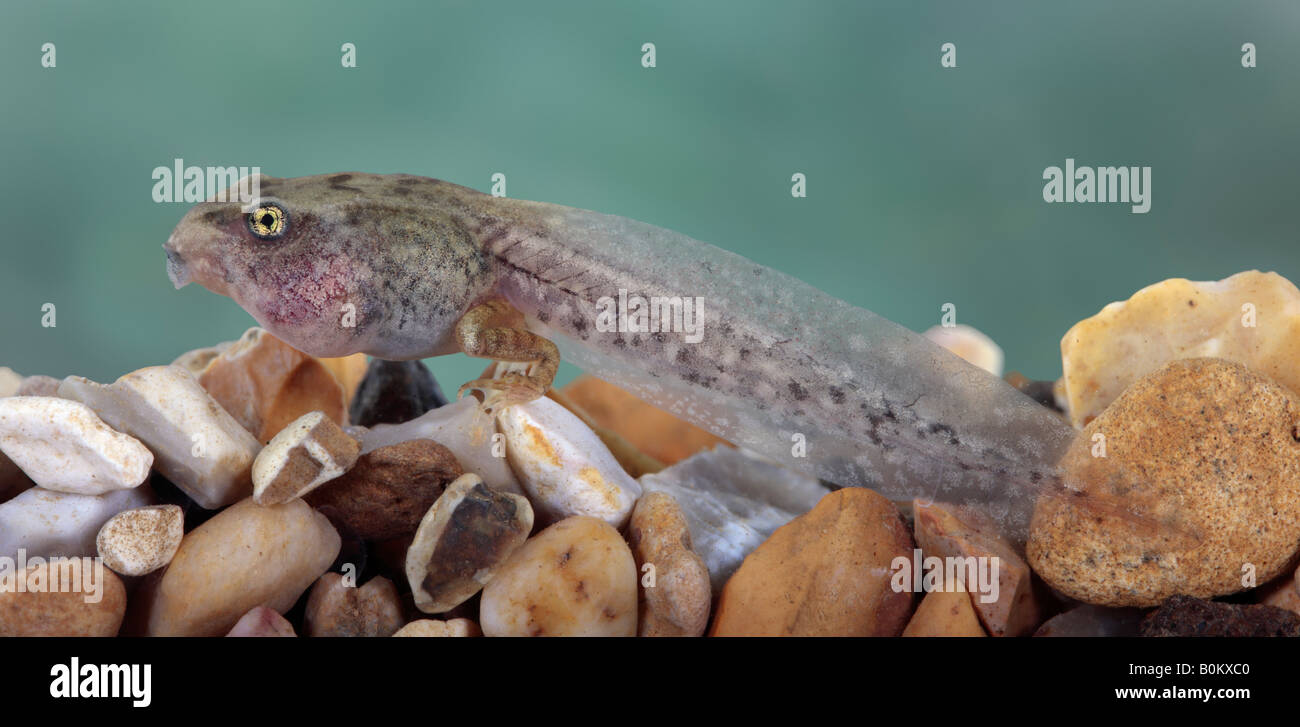 Common Frog Rana temporaria Tadpole - Stock Image