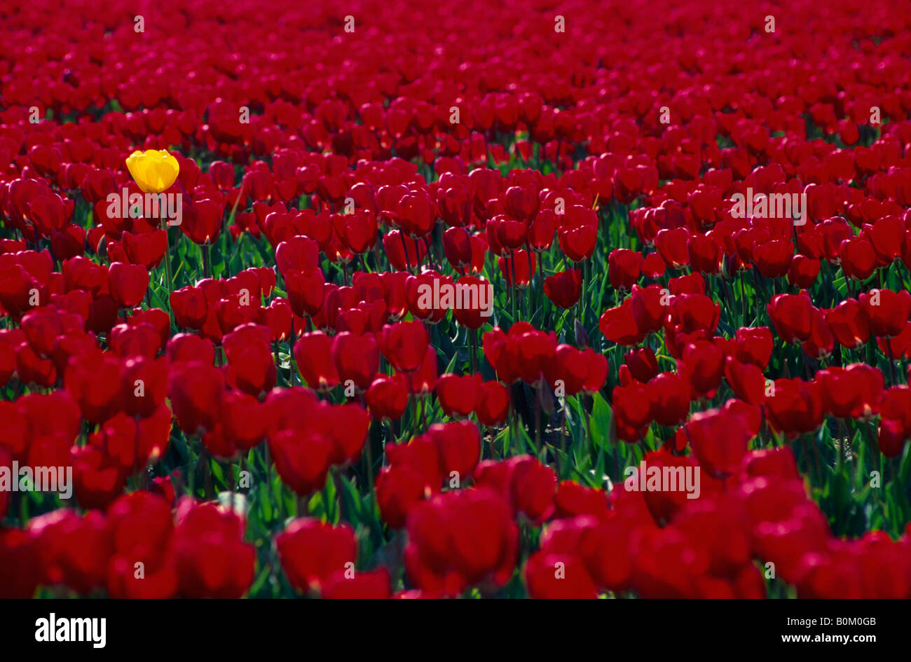 Single yellow tulip rising above a field of red tulips La Conner Washington USA - Stock Image