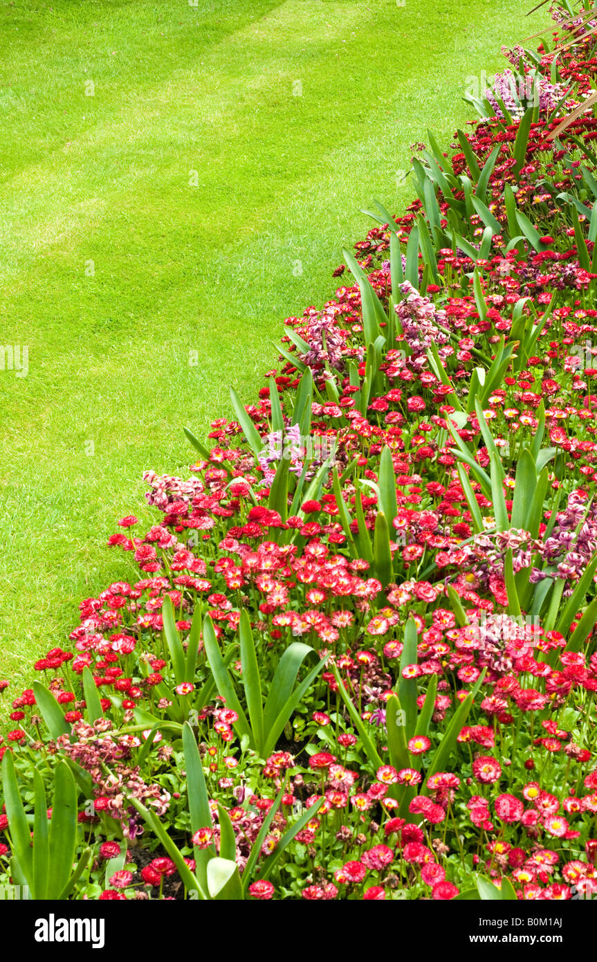 Chrystanthemum Flowers and short grass lawn - Stock Image