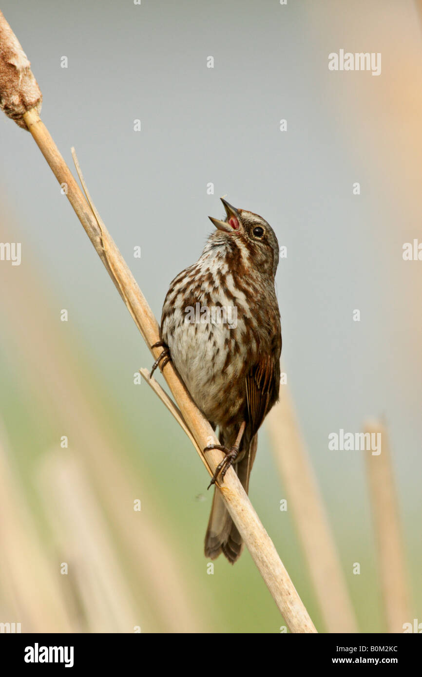Song sparrow singing in spring while perched on cattail in marsh Victoria British Columbia Canada - Stock Image