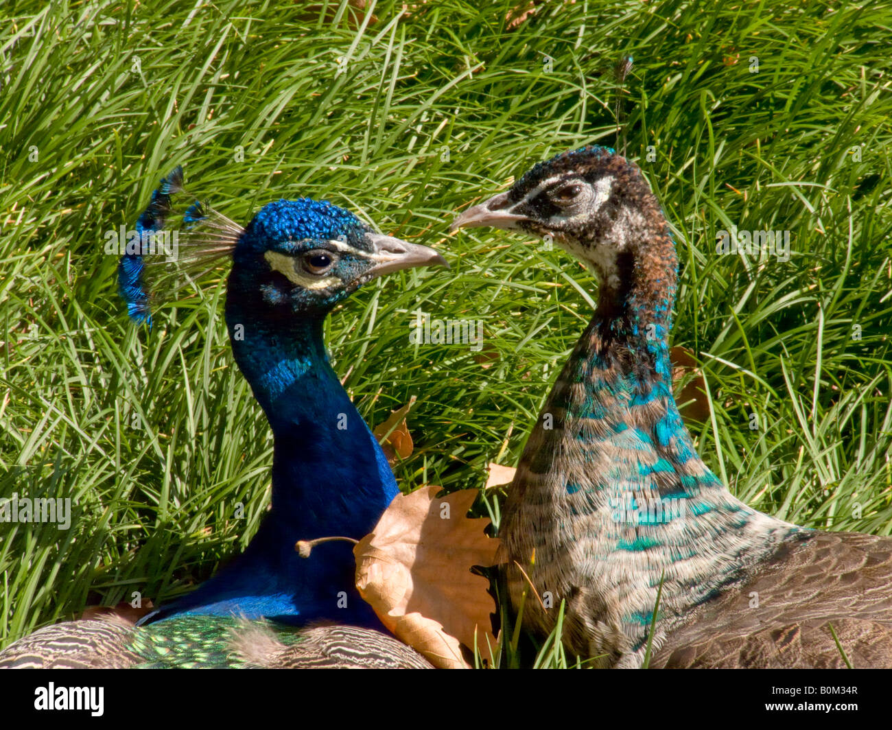Male And Female Peacocks