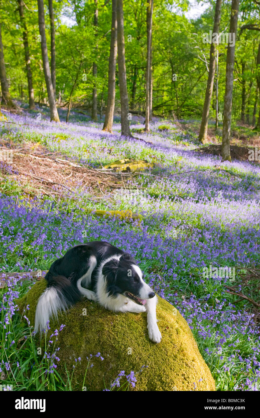 A Border Collie dog in Bluebells in spring woodland Ambleside Cumbria UK - Stock Image