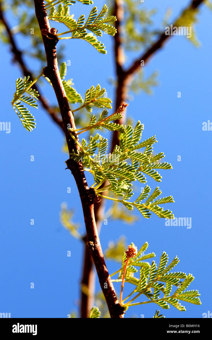 Timna Valley Park , in the Negev desert , acacia tree with leaves and thorns in the desert Stock Photo