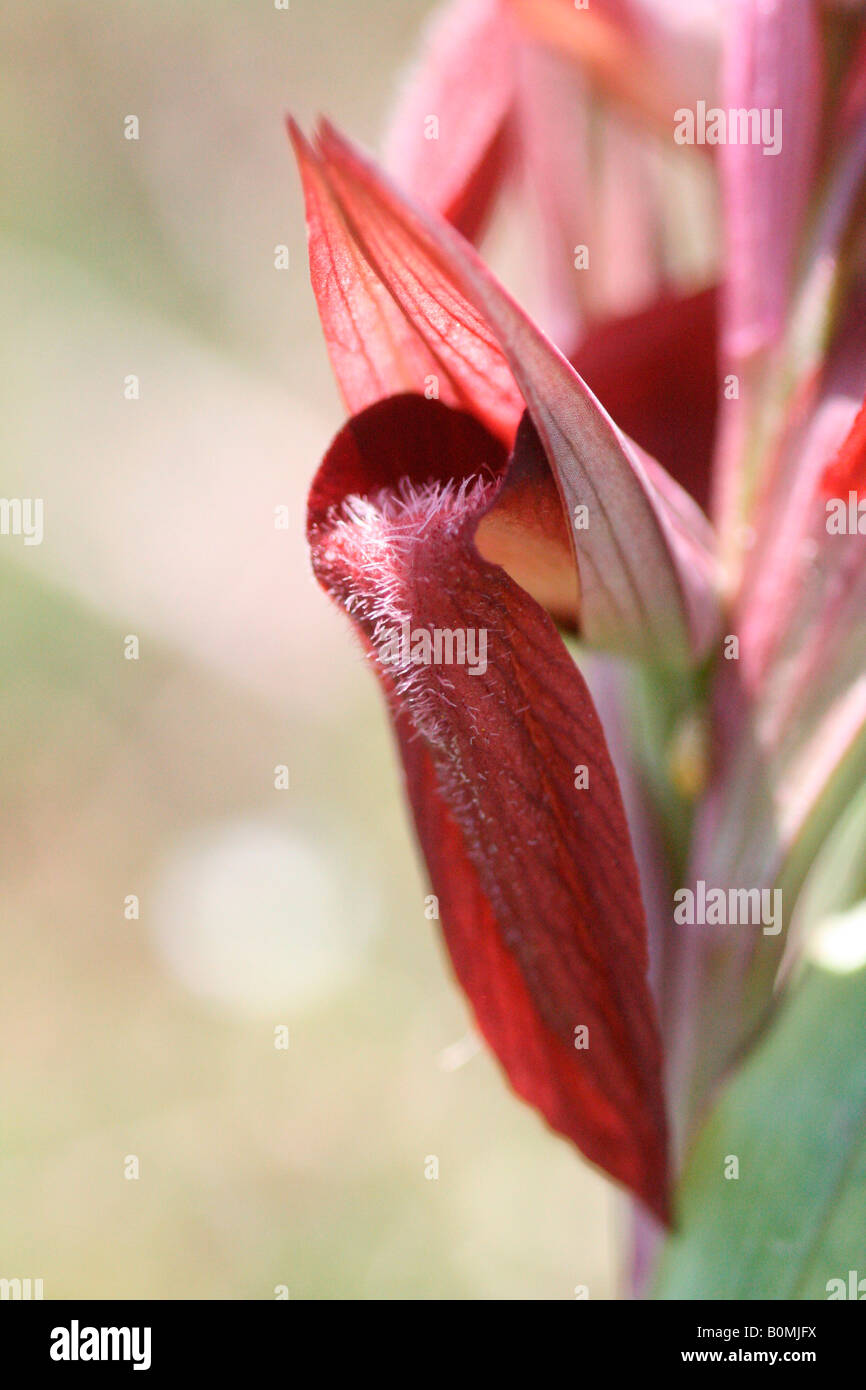 close up study of part of wild orchid flower monocotyledons - Stock Image