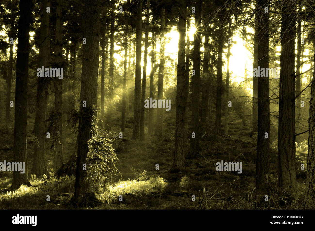 The sun shining through forest trees, in monotone - Stock Image