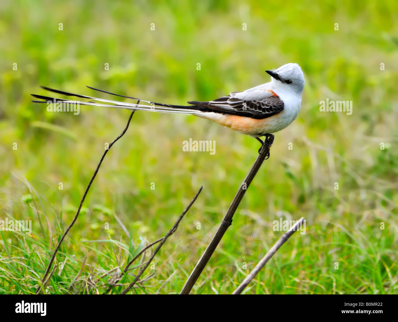 A Scissor Tailed Flycatcher Tyrannus Forficatus The Oklahoma State Stock Photo Alamy