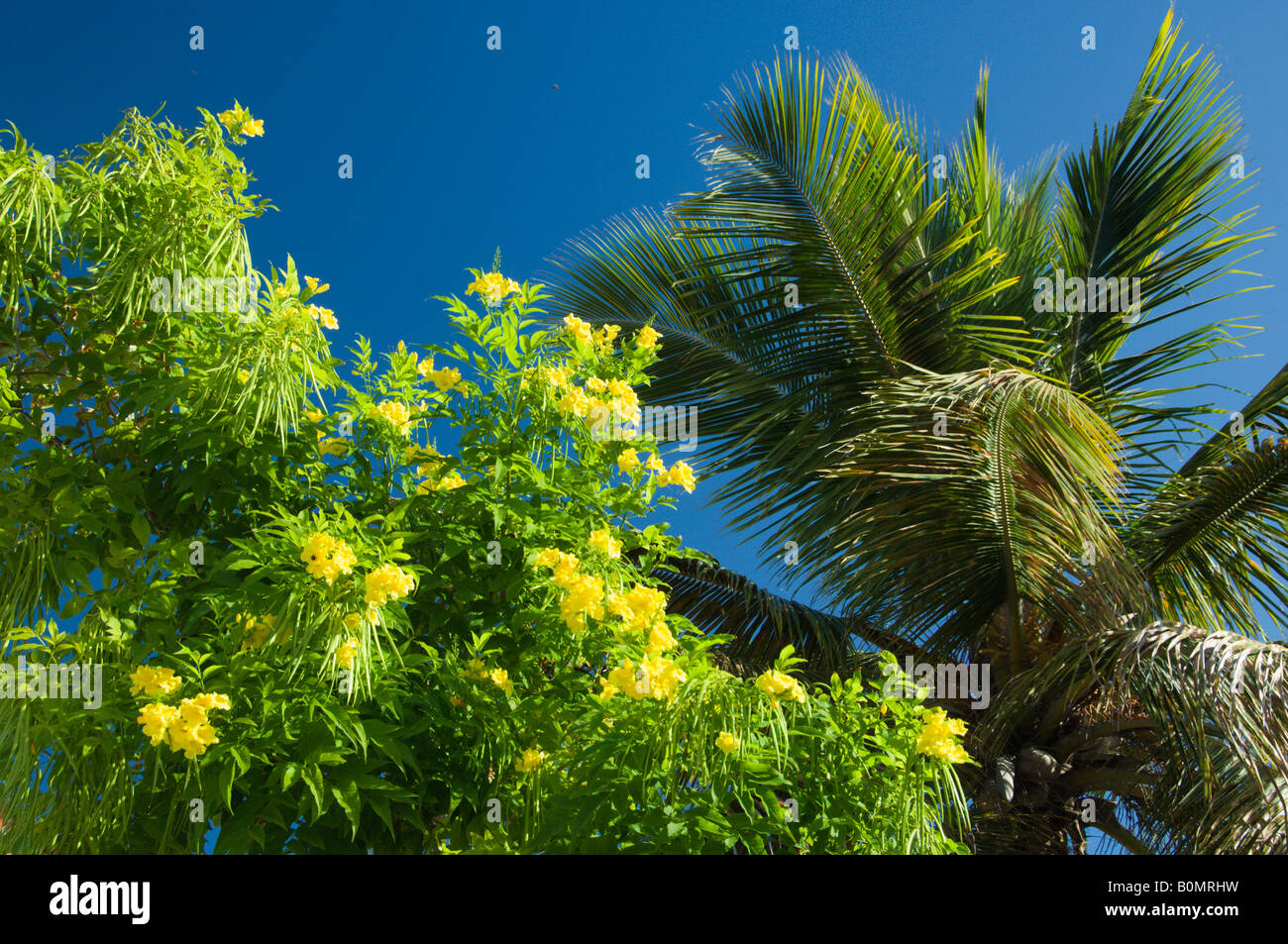 A palm tree with the yellow flowers of the tree in cockburn town a palm tree with the yellow flowers of the tree in cockburn town grand turk turks and caicos islands mightylinksfo