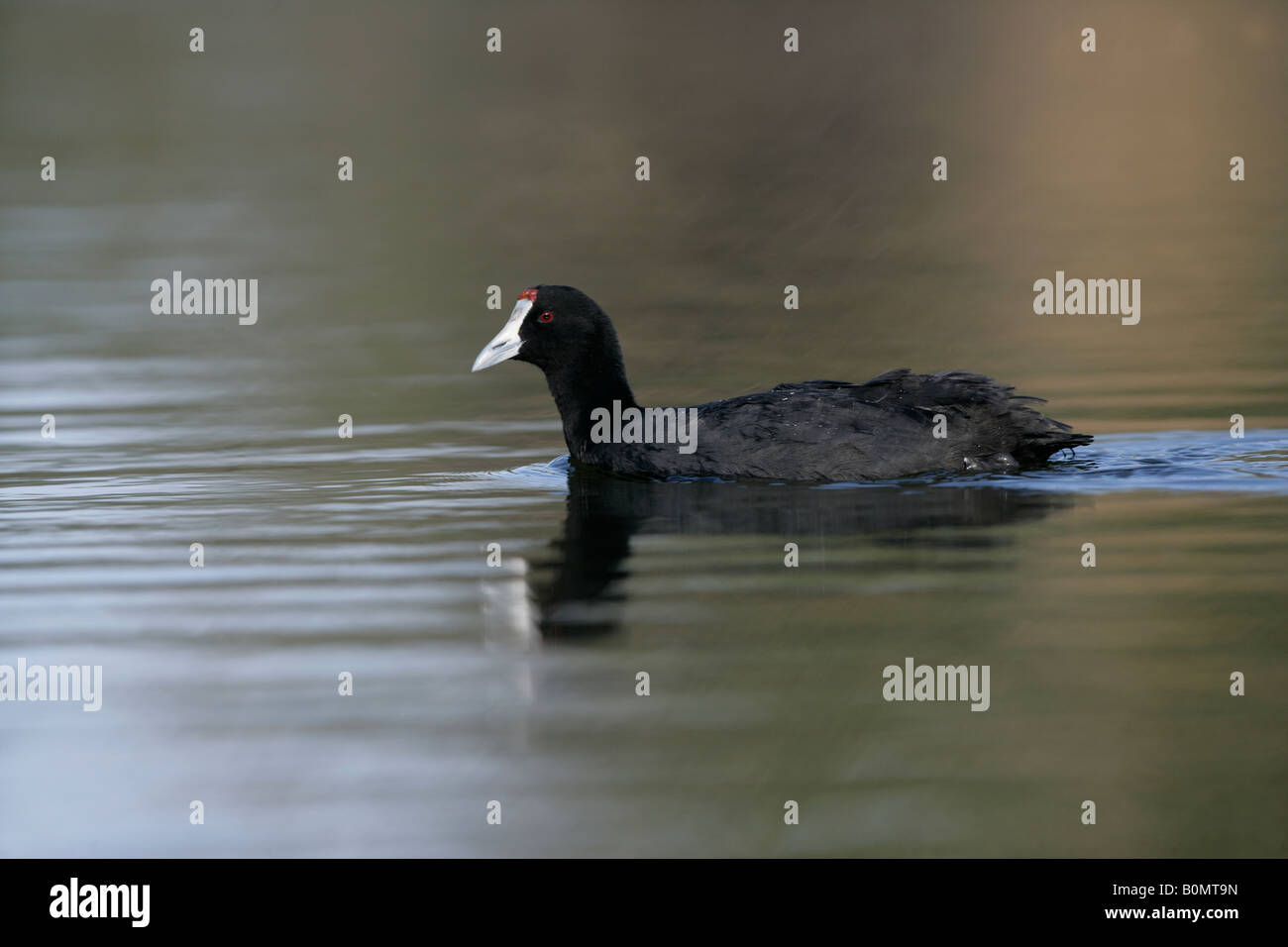 Crested or red-knobbed coot Fulica cristata, Spain, spring - Stock Image