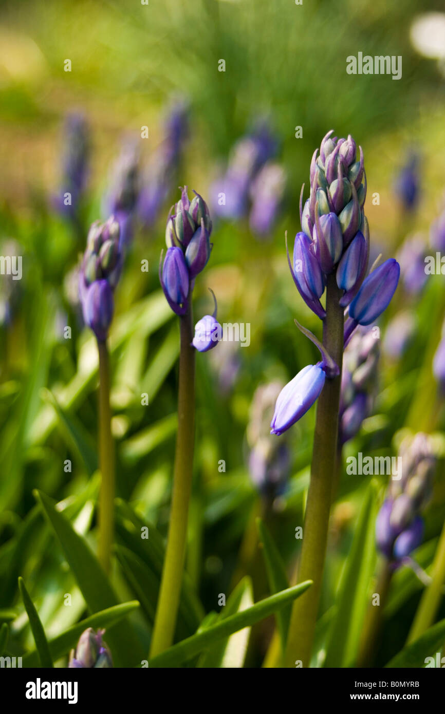 hyacinthaceae hyacinthoides hispanica Stock Photo