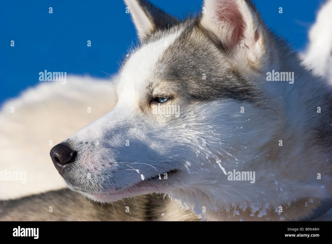 A siberian husky in winterly Lapland / northern Sweden - Stock Image