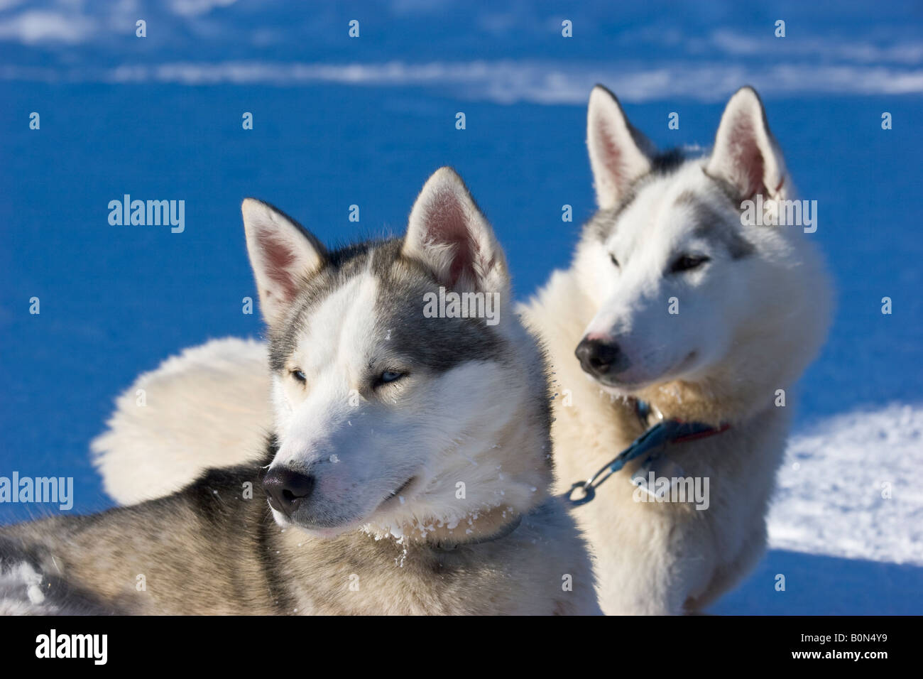 Two siberian huskies in winterly Lapland / northern Sweden - Stock Image