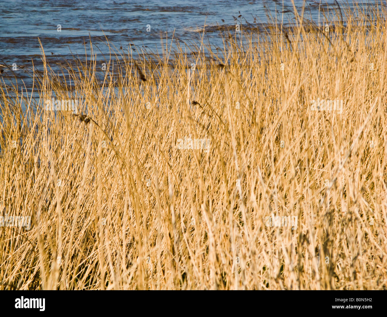 Reeds in early evening sunlight on a river bank UK - Stock Image