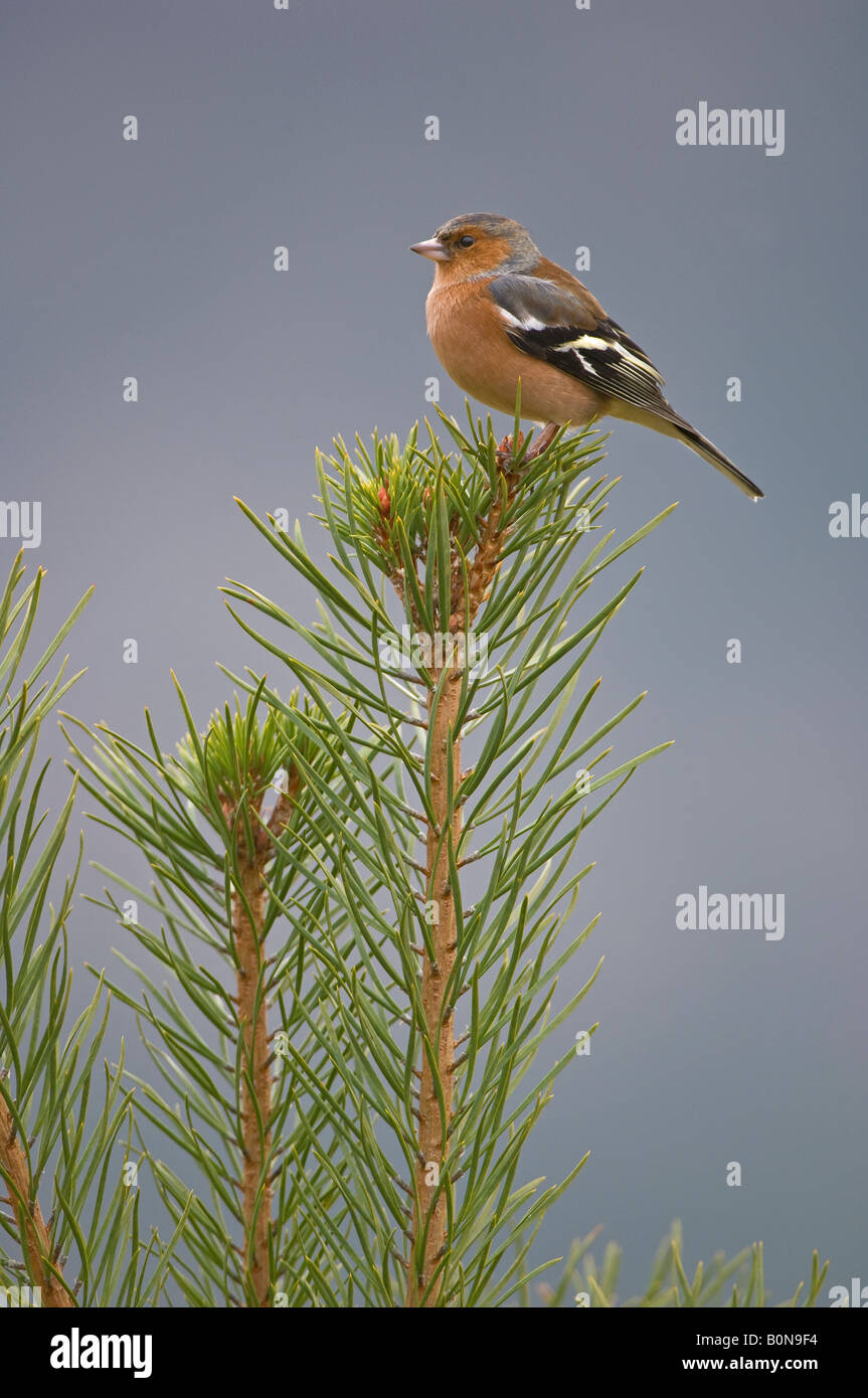 Chaffinch Fringilla coelebs adult male Speyside Scotland - Stock Image