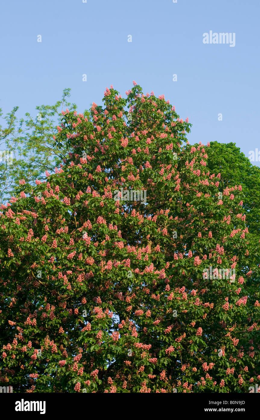 Horse pink chestnut tree stock photos horse pink chestnut tree pink horse chestnut flowers france stock image mightylinksfo