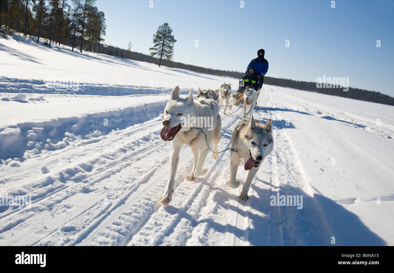 A dogsledge ride with siberian huskies in winterly Lapland / northern Sweden - Stock Image