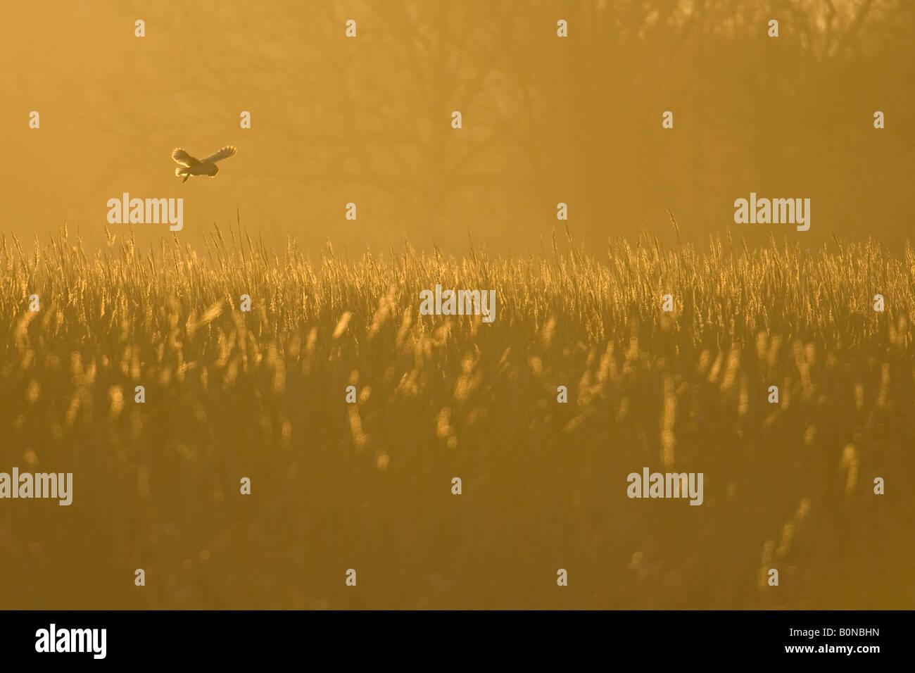 Barn owl Tyto alba hunting at dawn Norfolk England Stock Photo