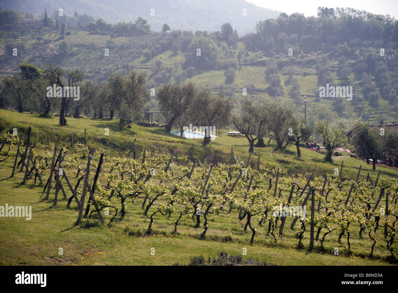 vineyard and olive grove near Lucca Tuscany - Stock Image