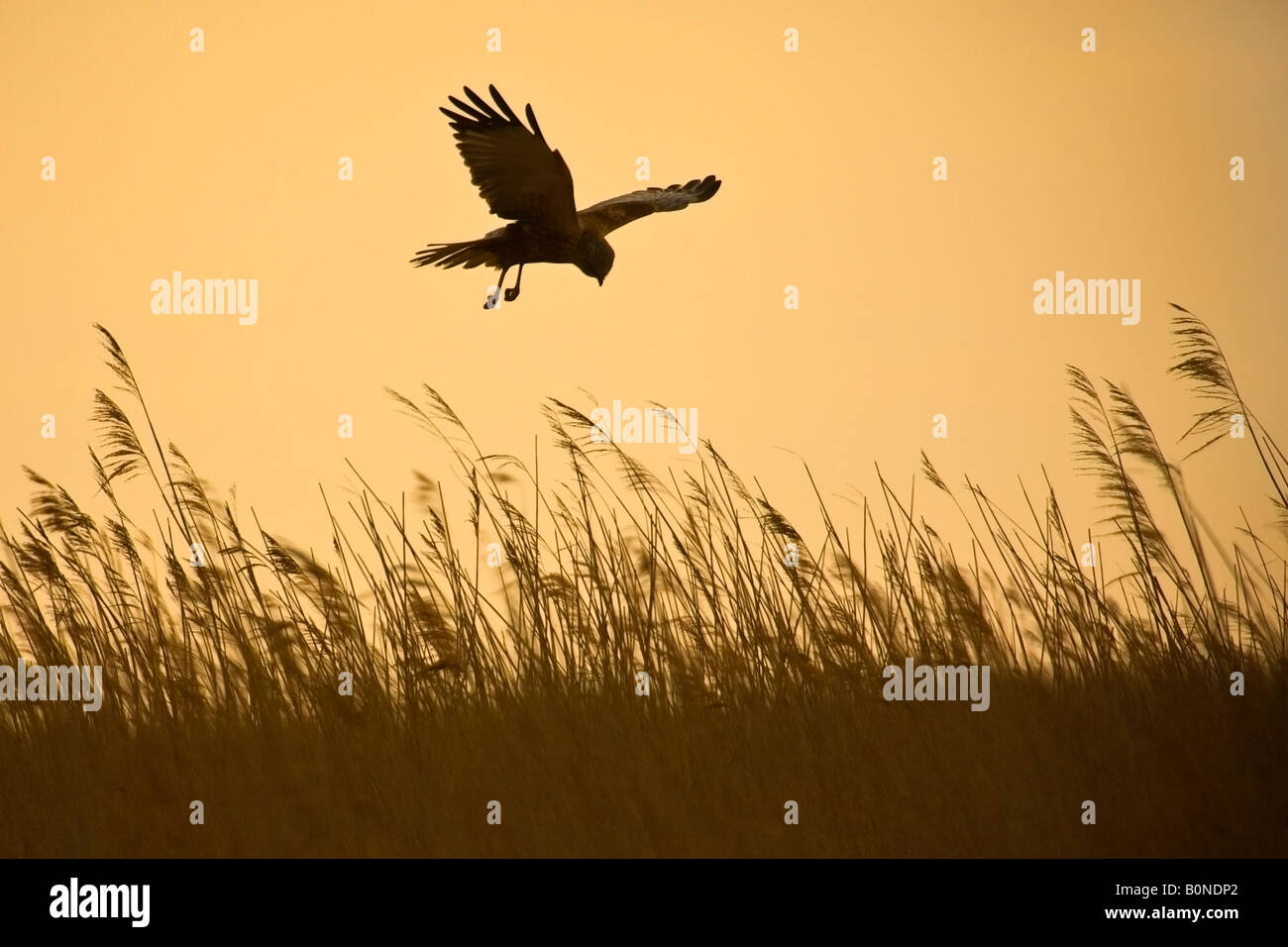 Marsh harrier Circus aeruginosus male in flight hunting over reedbed in early morning, Norfolk Stock Photo