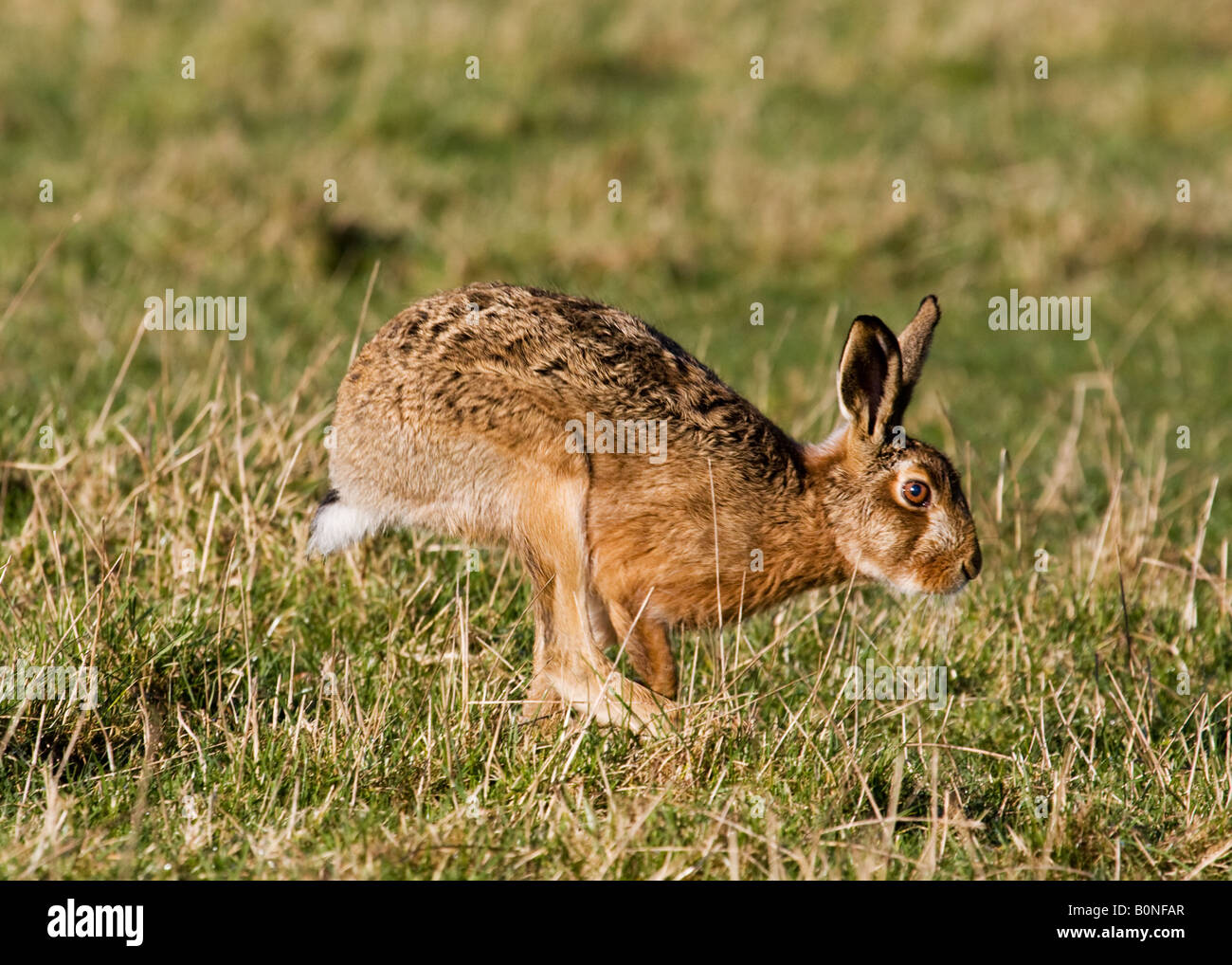 Brown hare running - Stock Image