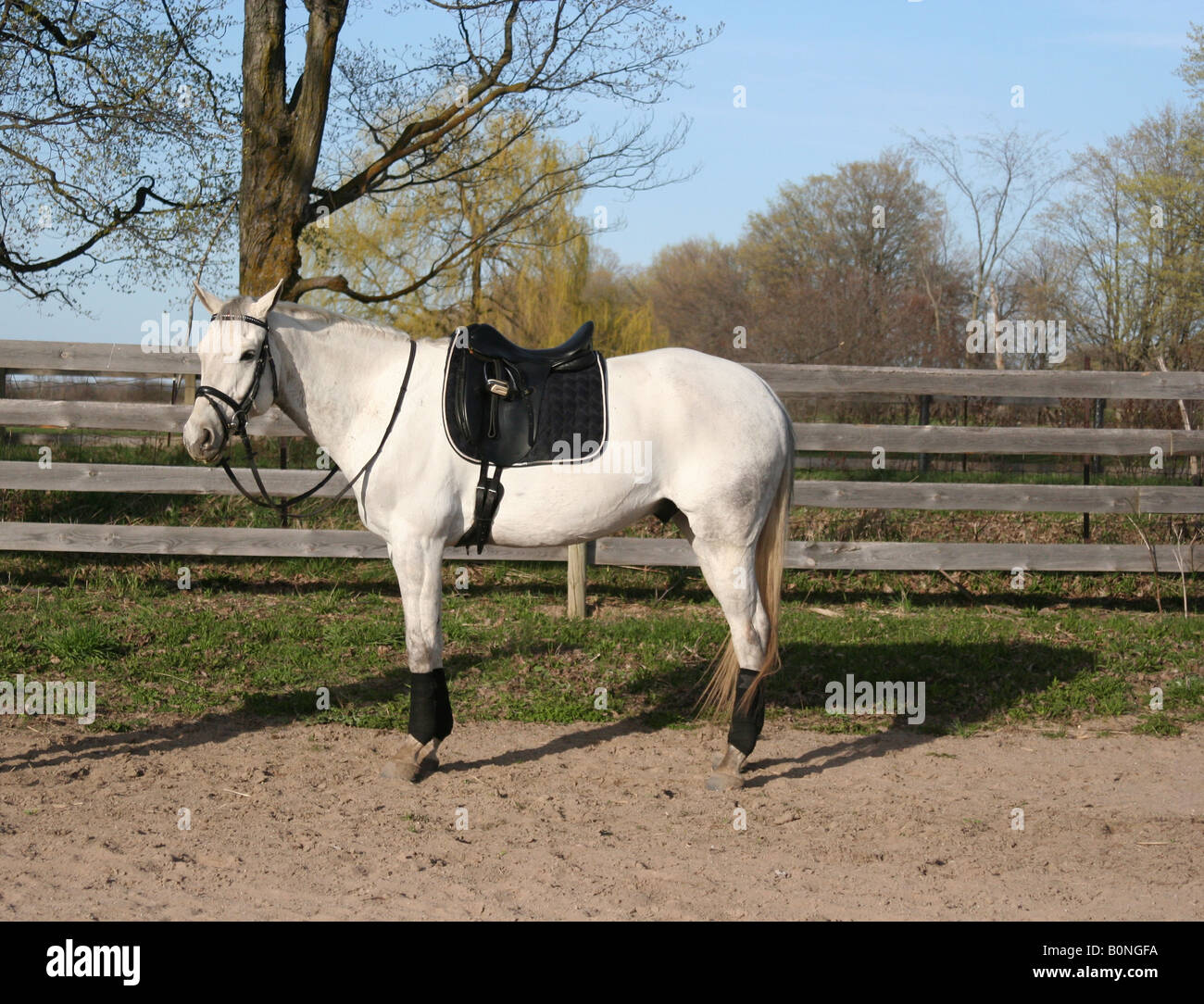 White Horse With Black Saddle Standing In Front Of Fence In A Field Stock Photo Alamy