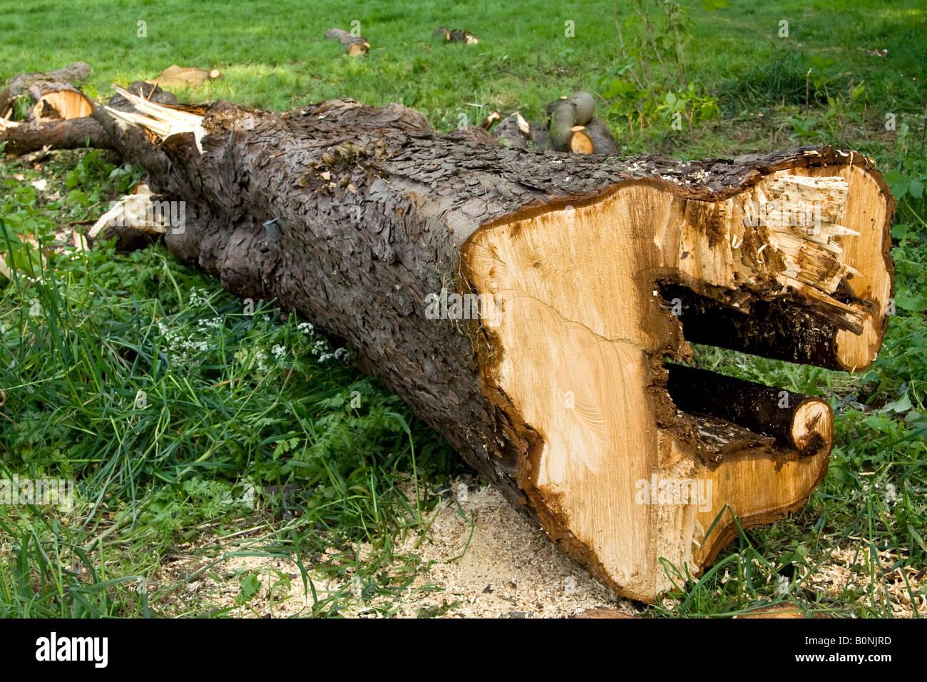 Diseased horse chestnut tree wood (Aesculus hippocastranum), Essex, UK. - Stock Image