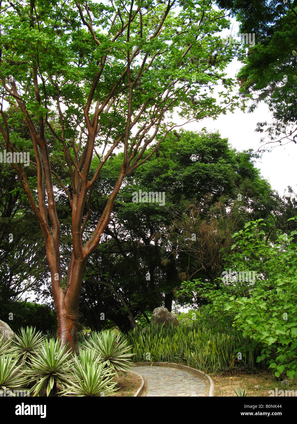 nude indian tree, bursera simaruba. arbol indio desnudo gumbo-limbo