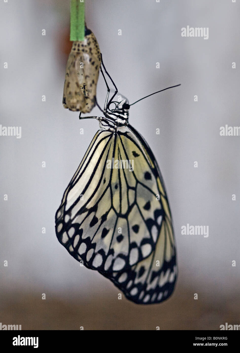 Rice Paper Butterfly (idea leuconoe) and Cocoon (also known as a Paper Kite or Tree Nymph Butterfly) - Stock Image