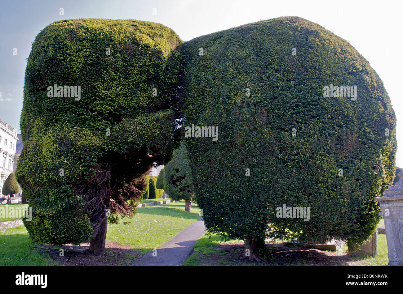 Yew trees in St Mary's church at Painswick in the Cotswolds - Stock Image