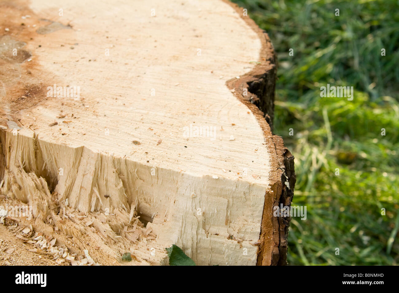 A section through a ^sawn tree trunk, UK. - Stock Image