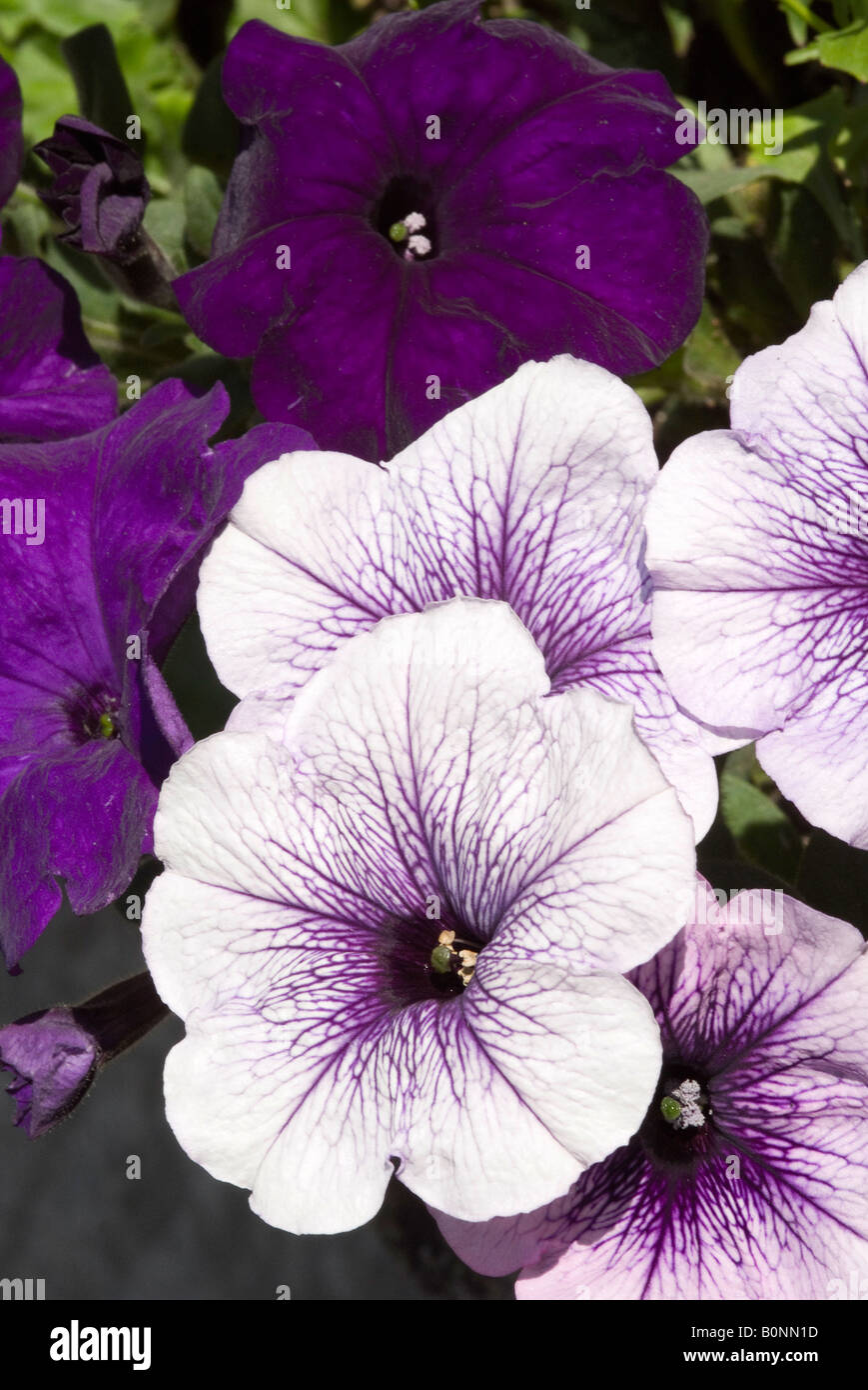 Closeup of White and Purple Petunias in a West Sussex Garden Bathed in Early Morning Sunshine England United Kingdom - Stock Image