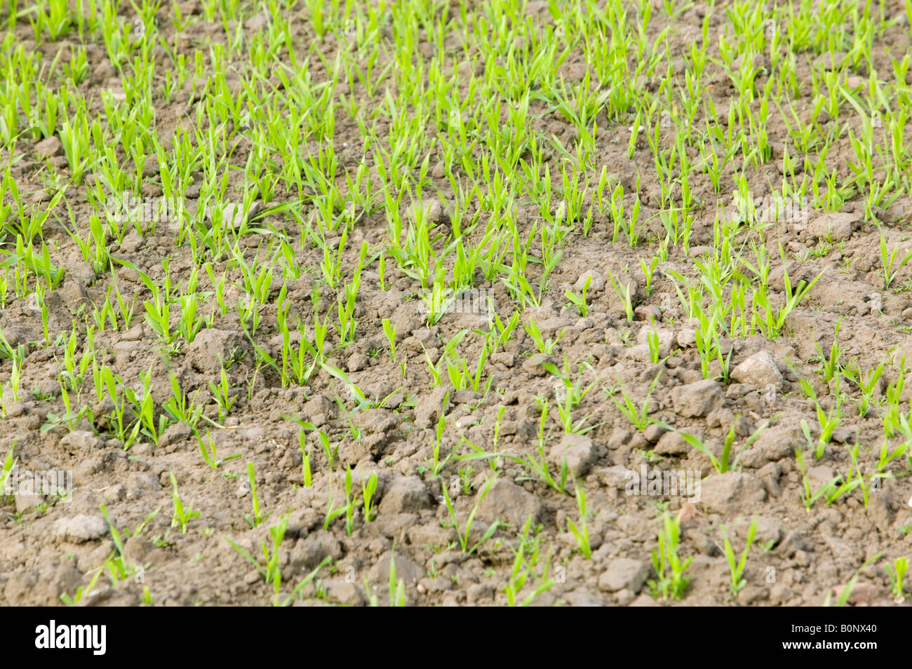 Crops growing in a field in lincolnshire UK Soil stores large quantities of C02 which is released when farmers plough - Stock Image