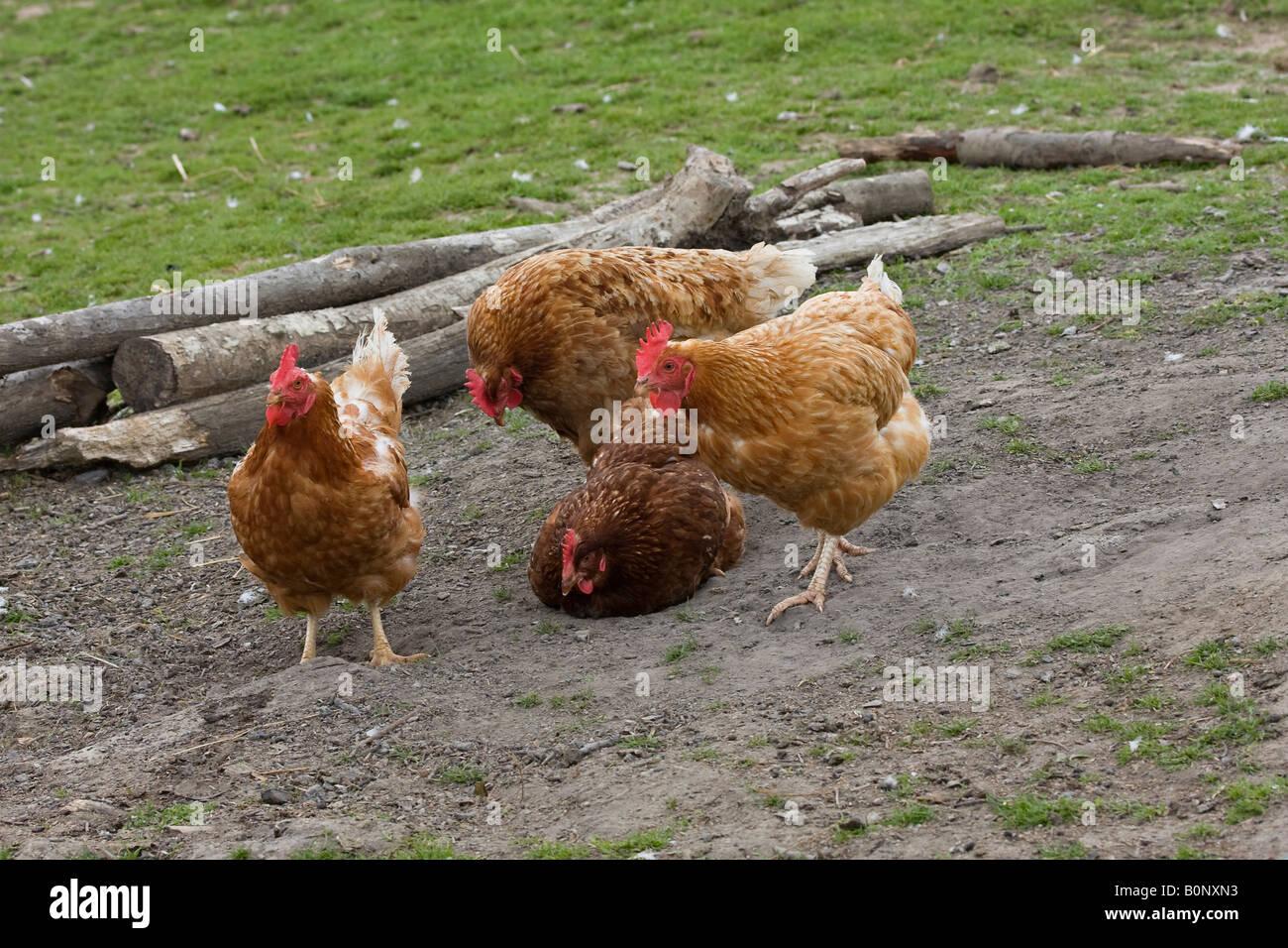 Free range chickens on farm - Stock Image