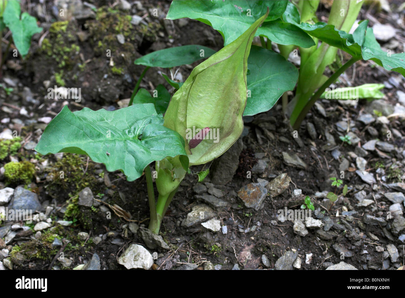 Cuckoo Pint Arum Maculatum showing purple spadix and hooded spathe - Stock Image