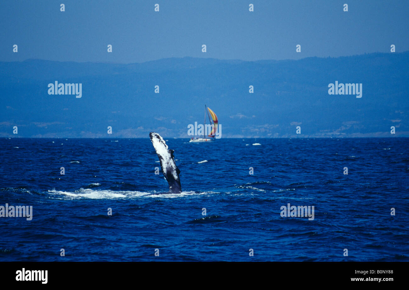 Humpback whale fin and yacht on the Monterey coast California USA - Stock Image