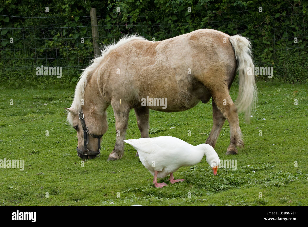 Pony and Aylesbury duck grazing together - Stock Image