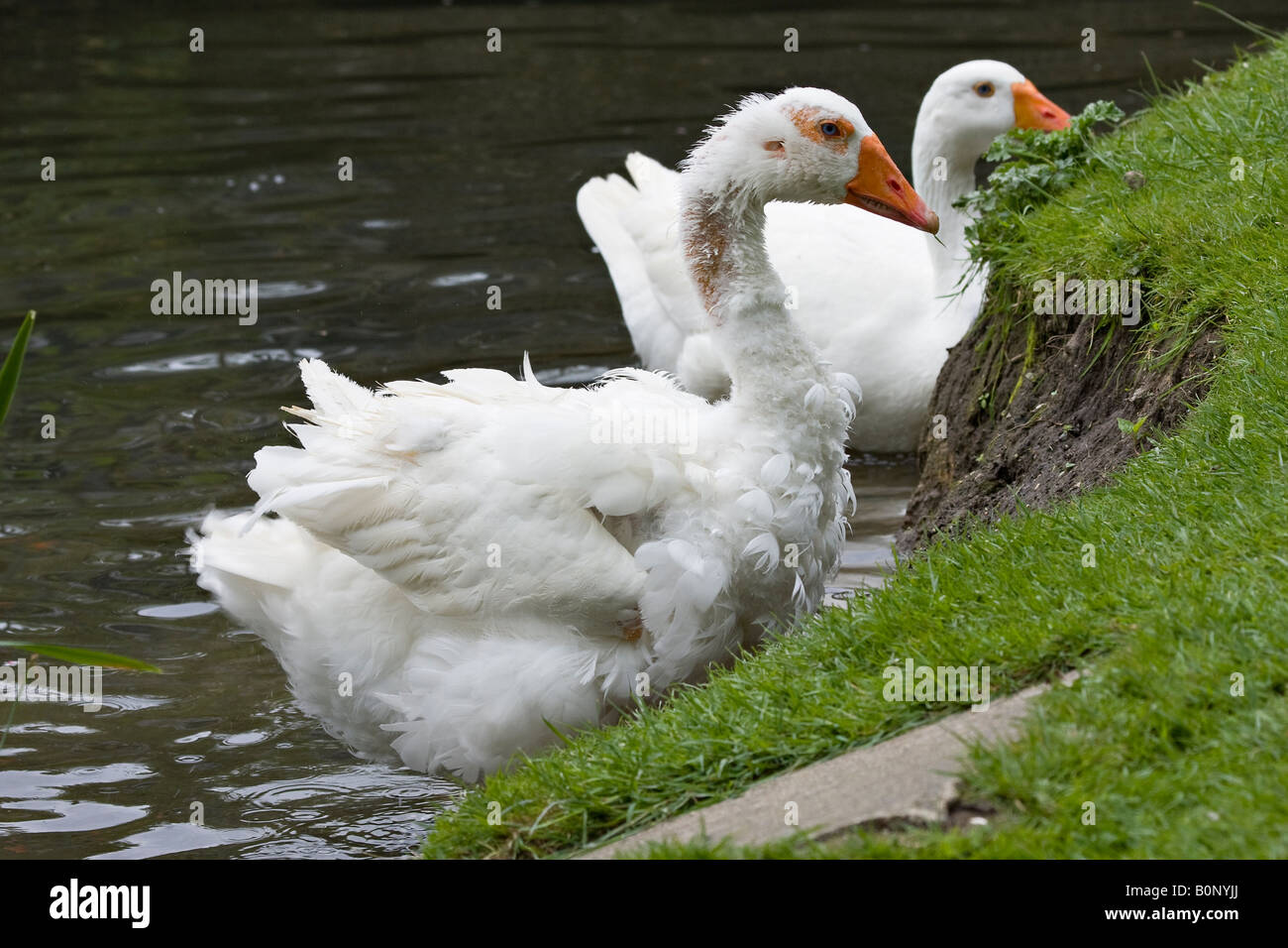 Large white Aylesbury duck showing signs of feather loss - Stock Image