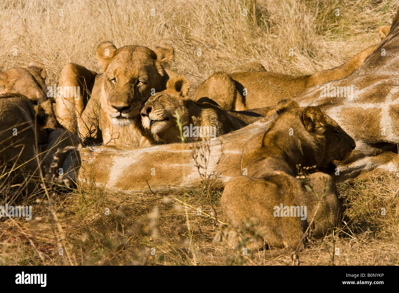 Lion cub Panthera Leo affectionately rubs head on adult female lion lying beside carcass of giraffe recently killed - Stock Image