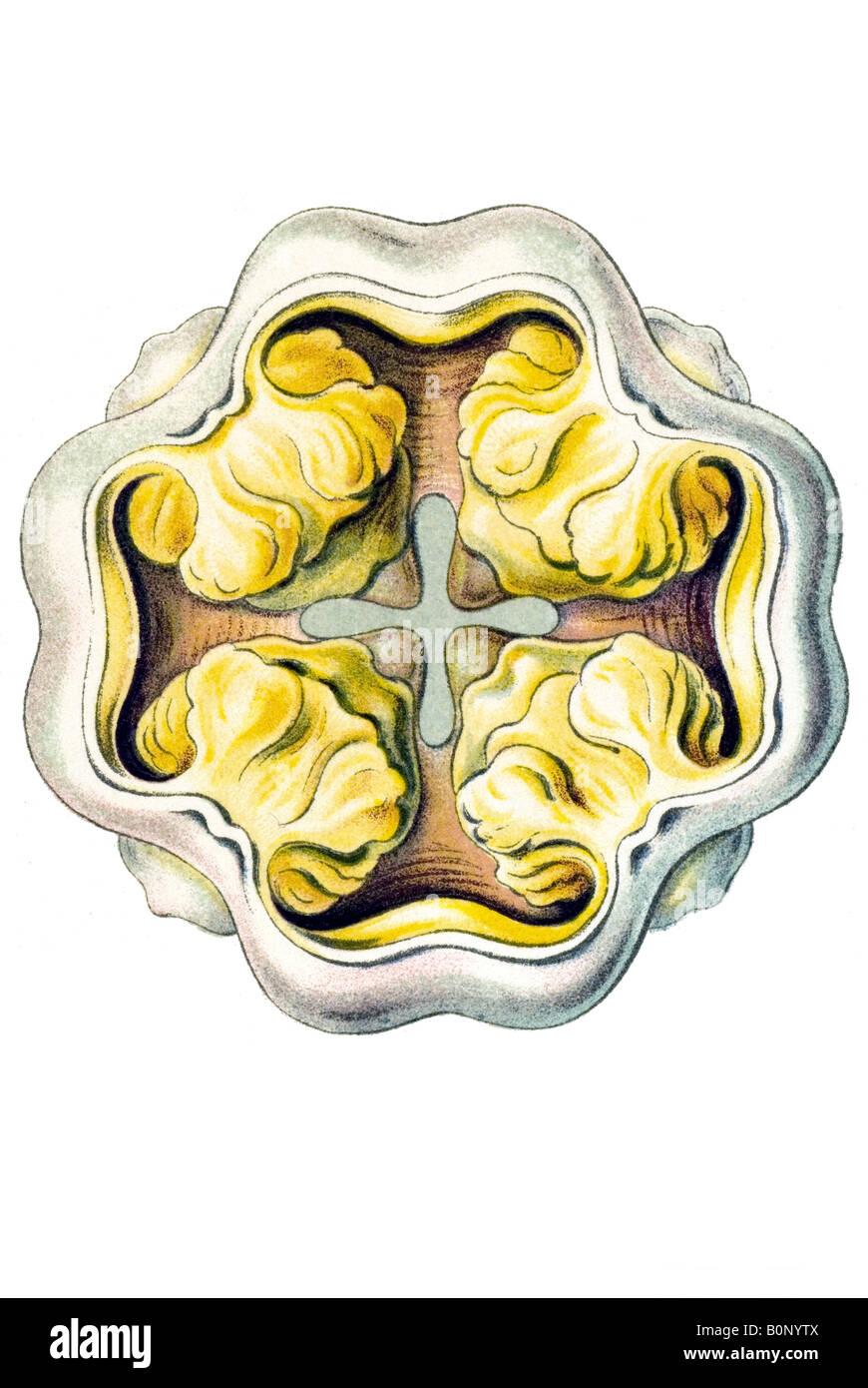 Peromedusae, Coronatae Name Periphylla hyacinthina, mouth, Haeckel ...
