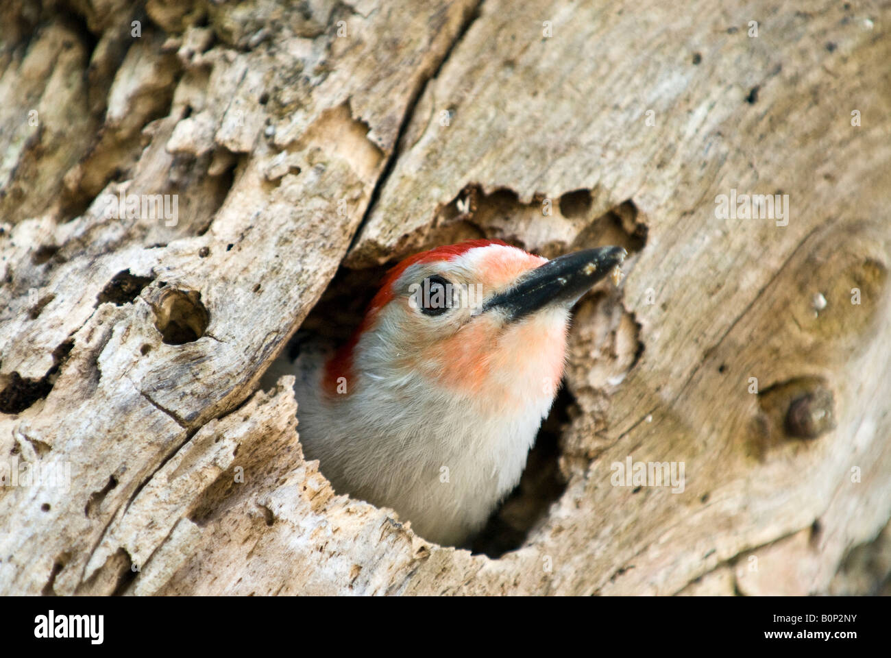 Red-bellied Woodpecker hollows out dead tree trunk for home, Anhinga Trail, Everglades National Park, Florida - Stock Image