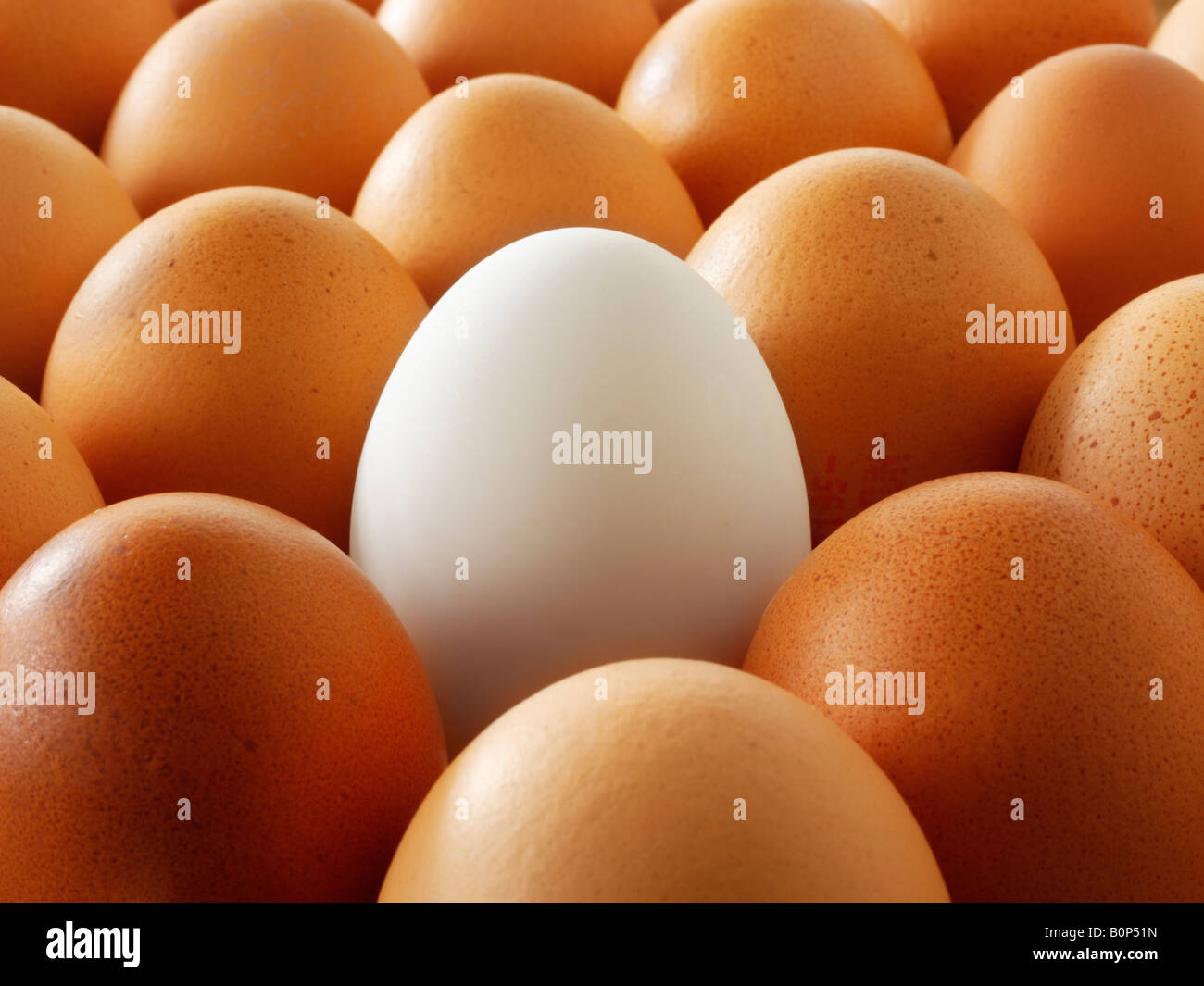 Close up of  eggs. Brown eggs with one white duck egg. - Stock Image