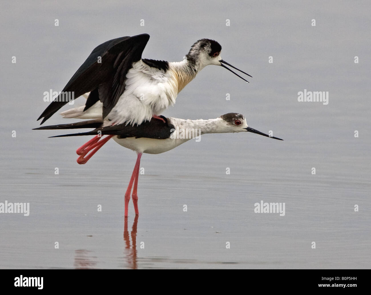 Pair of Black-winged Stilts mating in shallow waters of the Salt Pans in Kolloni, Lesbos, Greece. - Stock Image