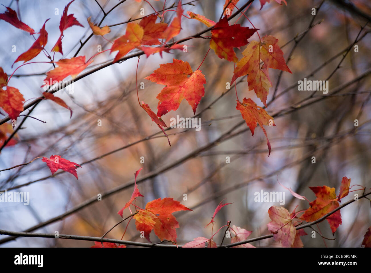 Photo of red maple leafs hanging in the tree branches - Stock Image