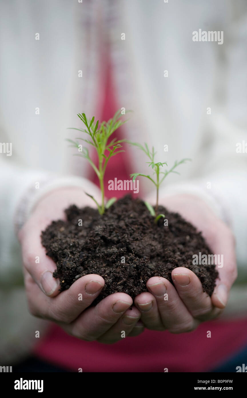 Woman holding flower seedlings in compost in her hands. UK - Stock Image