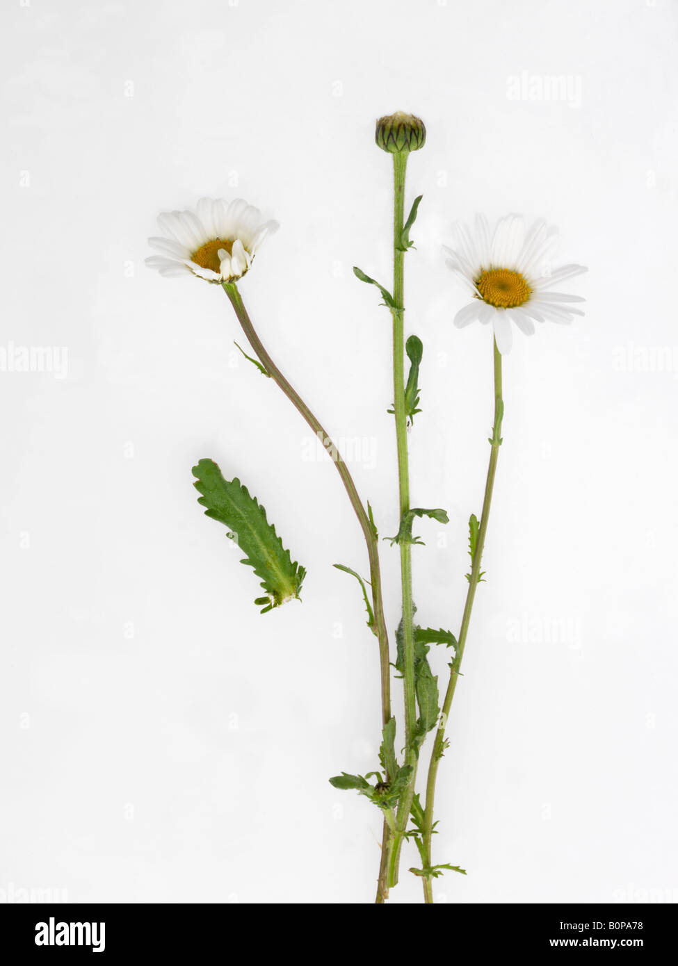 Ox Eye Daisies in May England Stock Photo